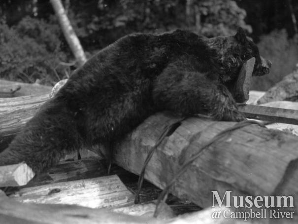 Black bear probably shot by August Schnarr in Bute Inlet