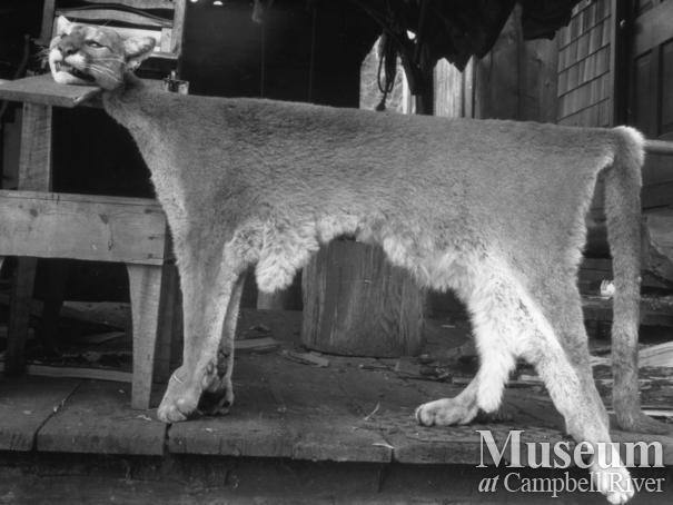 Pelt of cougar shot by August Schnarr