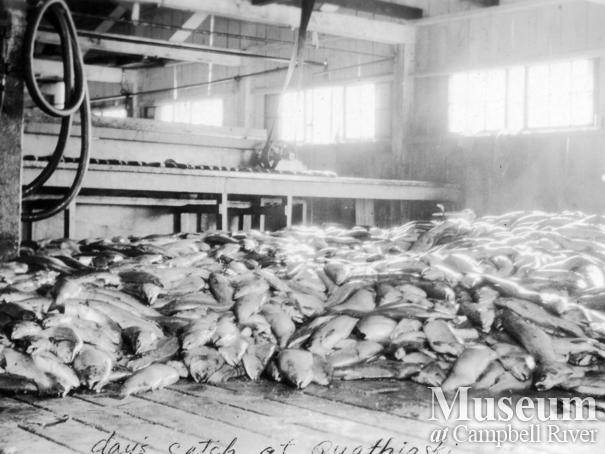 A day's catch on the floor of the Quathiaski Cannery at Quadra Island