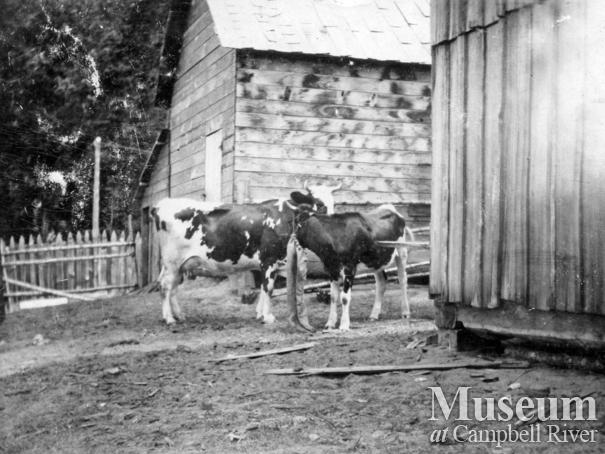 Two cows at Marlatt family homestead on Mary Island