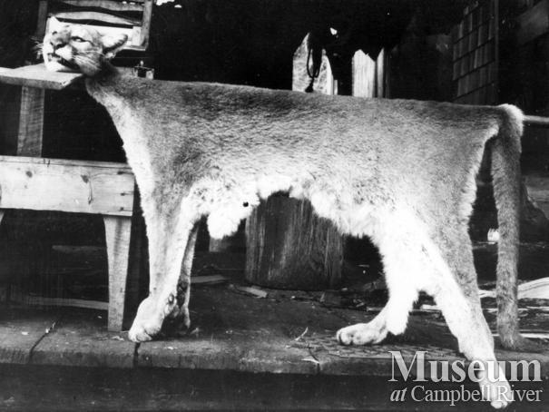 Skinned cougar pelt trapped by August Schnarr