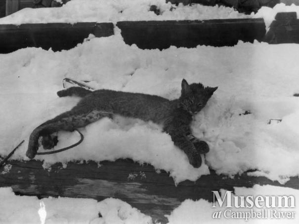 A bobcat probably shot by August  Schnarr in Bute Inlet